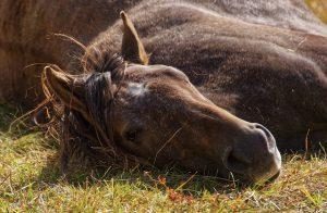 Hoe slaapt een paard