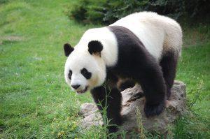 Hoe ziet een panda eruit