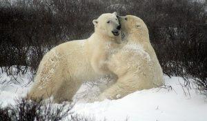 Hoeveel ijsberen zijn er