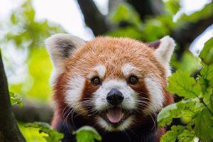 Hoeveel panda's zijn er in het wild