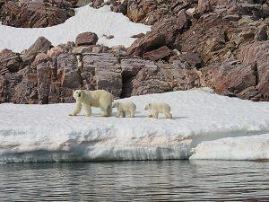 Komt het goed met de ijsbeer