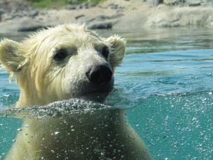 Kunnen ijsberen zwemmen