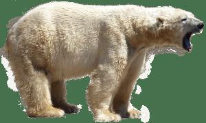 Maak kennis met de ijsbeer