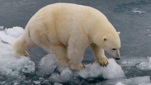 Waar leven ijsberen