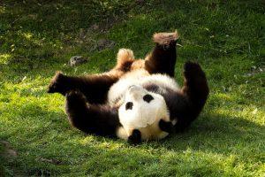 Waar leven panda's in het wild