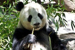 Waarom hebben pandas een zwart-witte vacht