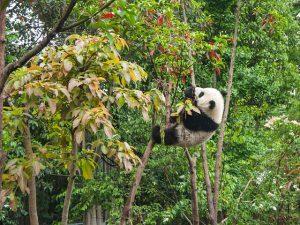 Waarom is de panda bedreigd