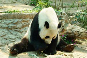 Waarom zijn pandas zo populair