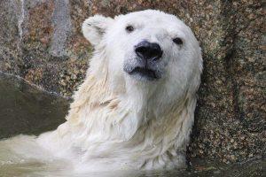 Wie waren de voorouders van de ijsbeer