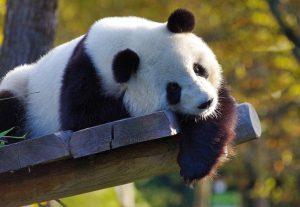 Wie waren de voorouders van de panda