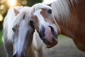 Zijn paarden sociale dieren