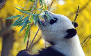 Zijn pandas sociale dieren
