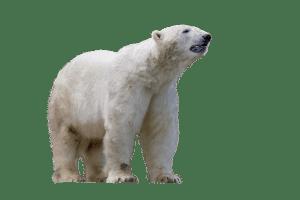hoe groot is een ijsbeer