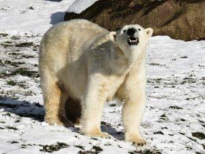 hoe jagen ijsberen