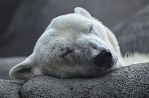 hoe wordt de ijsbeer ook wel genoemd