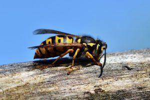 verschil tussen bijen en wespen