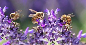 waar leven bijen