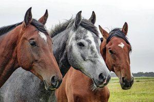 waarom is een paard een edel dier