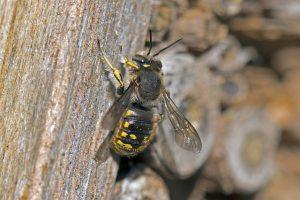 waarom zijn bijen kwetsbaar