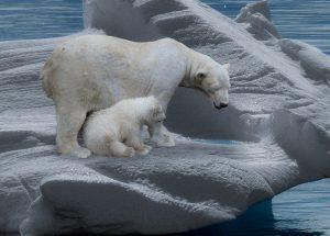 zijn ijsberen sociale dieren