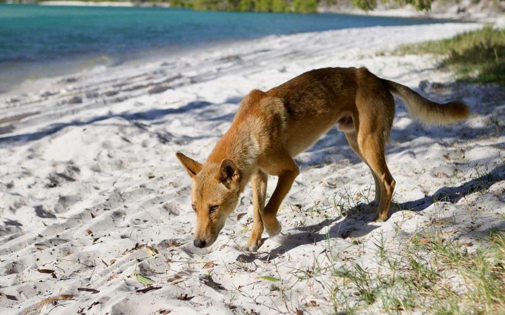 Dingo Australië