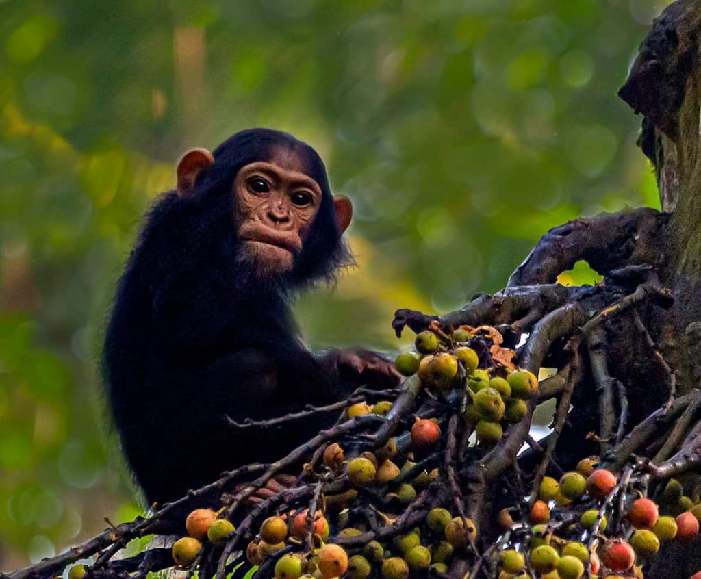 Primaten Chimpansee