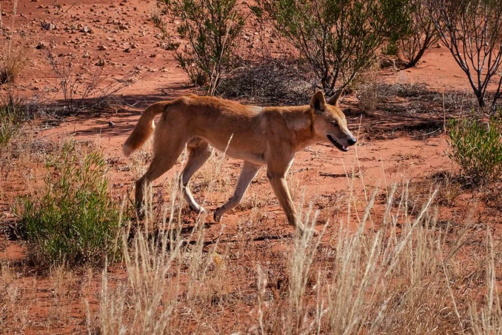 Zoogdieren Dingo