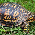 Geoemydidae Doosschildpad