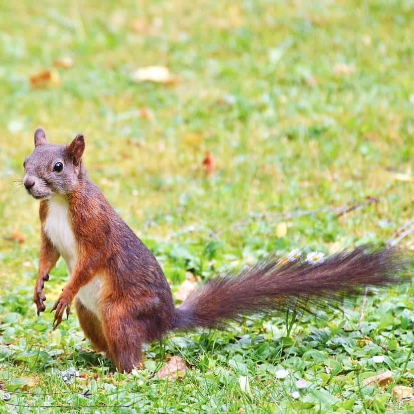 Knaagdieren Eekhoorns
