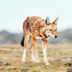 Ethiopische wolf