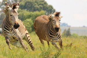 Hoe hard kan een zebra rennen