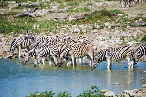 Hoe lang kan een zebra zonder water