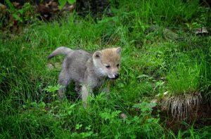 Hoe oud worden wolven (2)