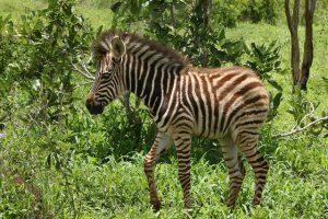 Hoe planten zebra's zich voort