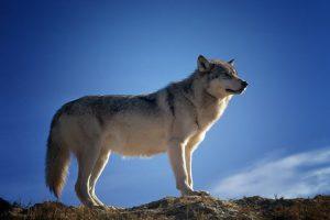 Hoe ziet een wolf er uit