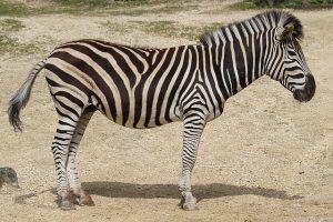 Hoe ziet een zebra er uit