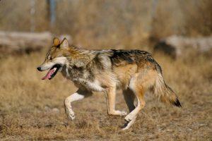 Wat moet je doen als je een wolf ziet