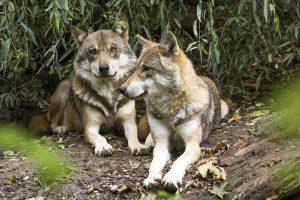 Is de wolf een beschermd dier