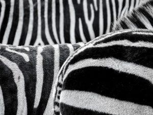 Is een zebra zwart met witte strepen of andersom
