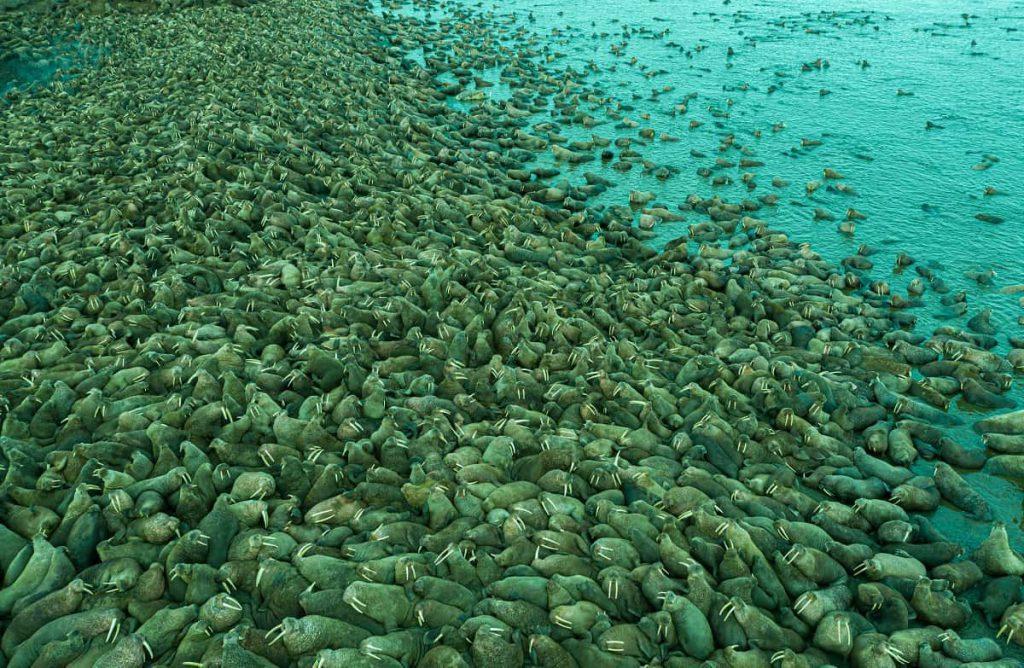 Walrus Kolonie