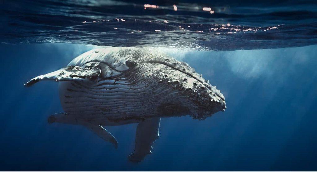 Walvissen Koningin-walvis