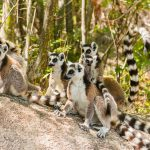Maki Lemuridae