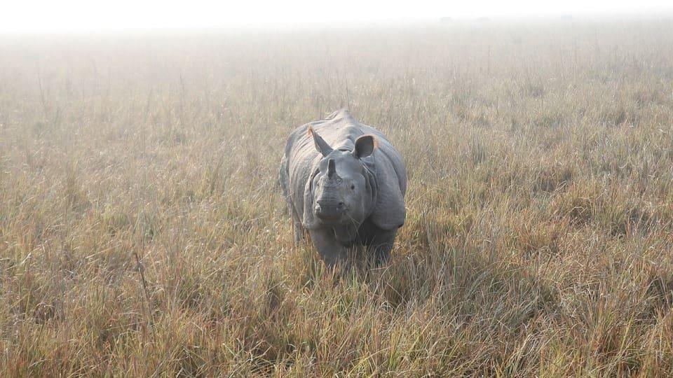 Aantal neushoorns in Nepal neemt toe