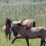 Mogelijk zijn de paarden en runderen in de Oostvaardersplassenillegaal geschoten