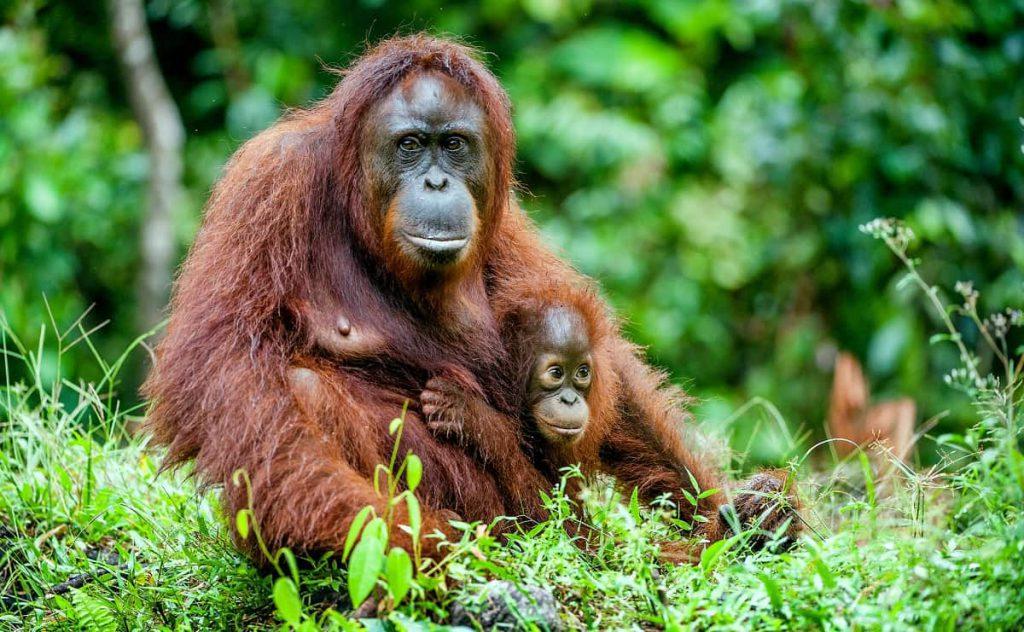 Primaten Orangoetans
