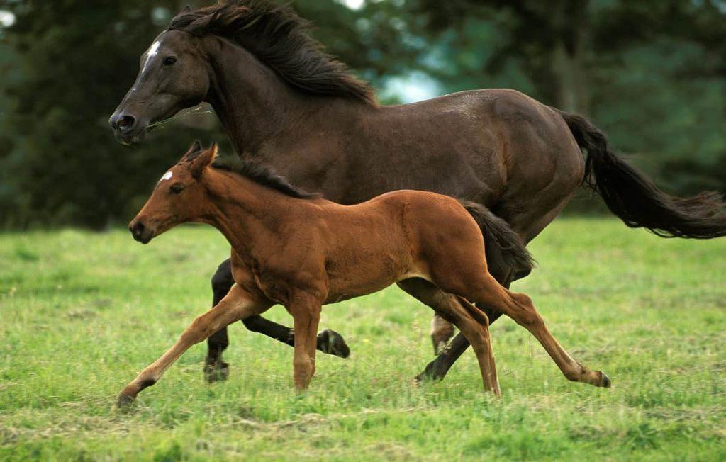 Paardachtigen Paard