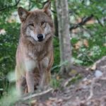 Spreekbeurt wolf