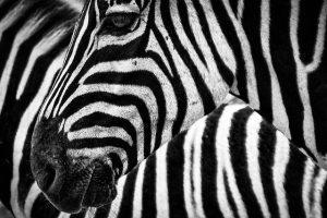 Spreekbeurt zebra
