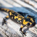 Amfibieën Vuursalamander