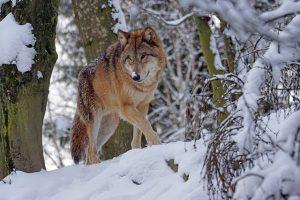 Waar komen wolven voor